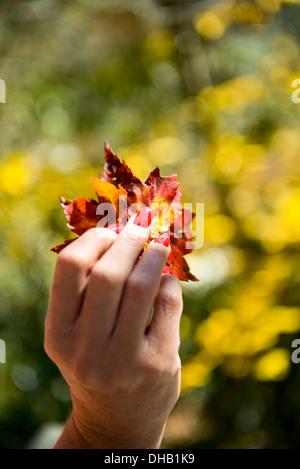 Un mesdames main avec des ongles rouge holding autumn leaves Banque D'Images