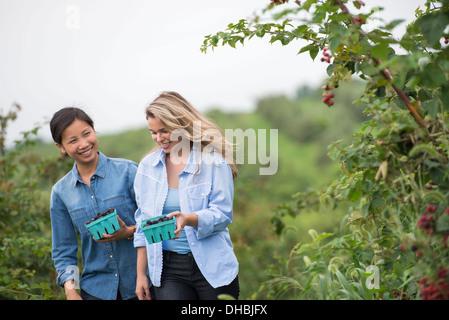 Blackberry cueillette fruits sur une ferme biologique. Deux femmes parler et marcher parmi les buissons de fruits. Banque D'Images