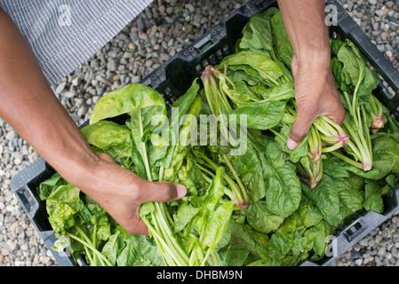 L'agriculture biologique. Un homme vert feuille d'emballage de légumes. Banque D'Images