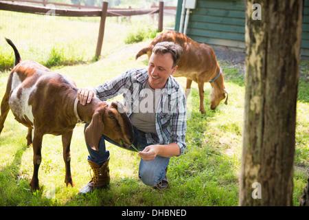 Une ferme biologique dans les Catskills. Un homme dans un enclos avec deux grandes chèvres. Banque D'Images