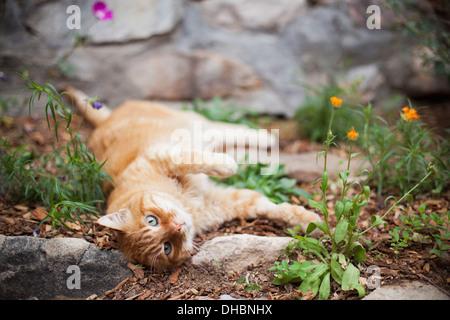 Chat tigré Orange couché dans jardin