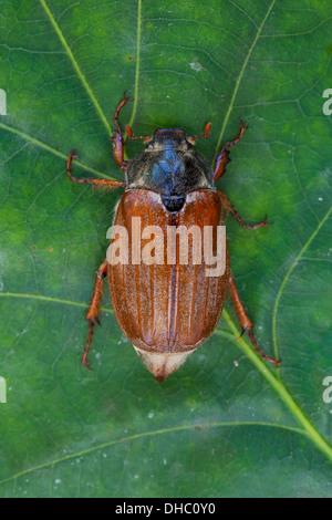 Catégorie: commune / Mai bug (Melolontha melolontha) sur feuilles au Oak tree in forest