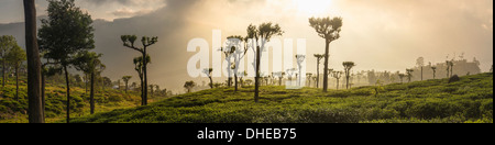 Le lever du soleil sur les plantations de thé, Haputale, Sri Lanka Hill Country, au Sri Lanka, en Asie Banque D'Images