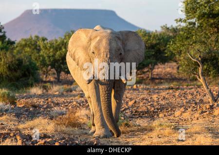 Elephant (Loxodonta africana), Damaraland, Namibie, Afrique, Kunene Banque D'Images