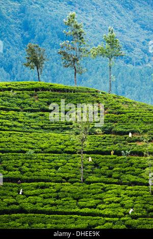 Cueilleurs de thé travaillant dans une plantation de thé dans les hautes terres du centre, District de Nuwara Eliya, Banque D'Images