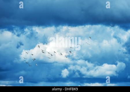 Les pigeons covey dans ciel bleu Banque D'Images