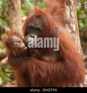 Orang-outan sauvage (Pongo pygmaeus) mother holding baby Banque D'Images