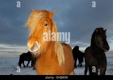 Portrait cheval islandais. Banque D'Images