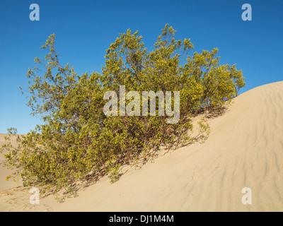 Le miel Mesquite (Prosopis glandulosa torreyana). La floraison au printemps (fin mars) à une dune dans le mesquite Flat dunes de sable dans le