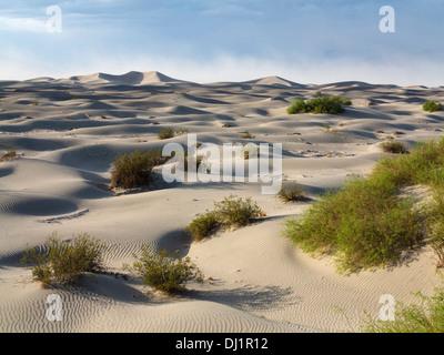Mesquite Flat dunes de sable avec quelques jeunes Miel Mesquite (Prosopis glandulosa torreyana) des arbres dans la vallée de la mort. Dans le b