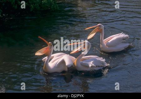 Grand Pélican blanc Pélican blanc, rose, Pélican, le pélican blanc (Pelecanus onocrotalus, Rosapelikan) Banque D'Images