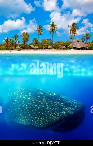 Requin-baleine ci-dessous