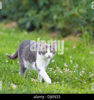Chat gris et blanc de marcher dans l'herbe