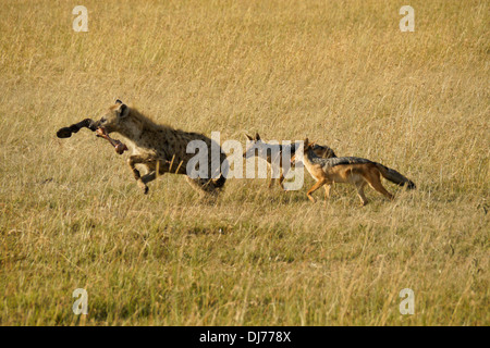 Noir (argent) adossés à des chacals chassant l'hyène tachetée avec zebra jambe, Masai Mara, Kenya Banque D'Images