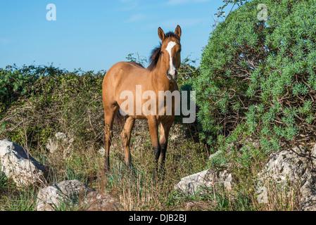 Cheval, mare debout sur terrain rocailleux, Parco delle Madonie, Parc Naturel Régional des Madonie, près de Collesano, Banque D'Images