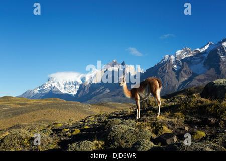 Le guanaco (Lama guanicoe) debout sur la colline avec les montagnes de Torres del Paine en arrière-plan.Patagonie.Chili