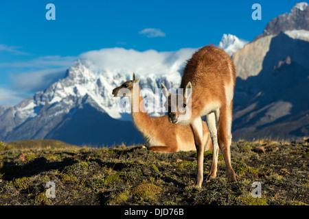 Deux guanacos (Lama guanicoe) sur la colline avec les montagnes de Torres del Paine en arrière-plan.Patagonie.Chili
