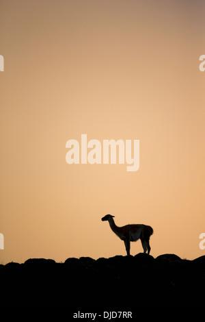 Le guanaco (Lama guanicoe) silhouette debout sur la colline.Patagonie.Chili