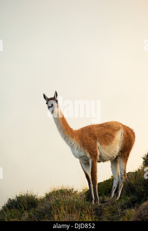 Le guanaco (Lama guanicoe) debout sur la colline entre la brume.Patagonie.Chili