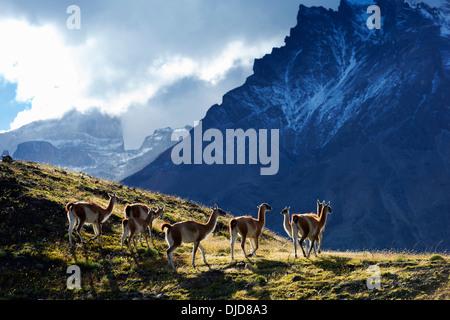 Petit groupe de guanaco (Lama guanicoe) debout sur la colline avec les montagnes de Torres del Paine en arrière-plan.Patagonie.Chili