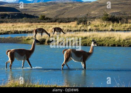 Deux guanacos (Lama guanicoe) traversant une rivière dans le Parc National des Torres del Paine.Patagonie.Chili