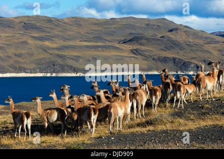 Petit troupeau de guanacos (Lama guanicoe) dans le Parc National des Torres del Paine.Patagonie.Chili