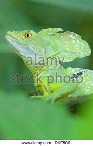 Close up de basilisk (Basiliscus plumifrons lézard), Costa Rica Banque D'Images