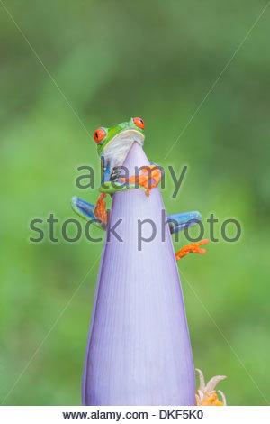 Arbre aux yeux rouges (agalychnis callidryas) grenouille sur pink flowerhead, Costa Rica Banque D'Images
