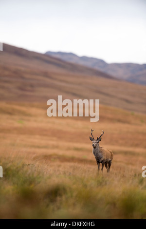 Red Deer (Cervus elaphus), Ecosse, Royaume-Uni Banque D'Images