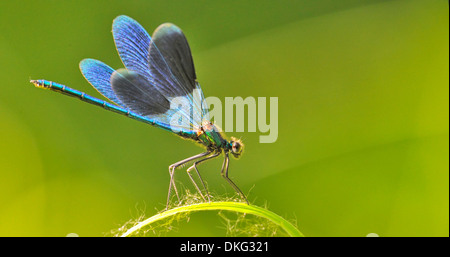 Dragon fly sur un brin d'herbe sur fond naturel Banque D'Images