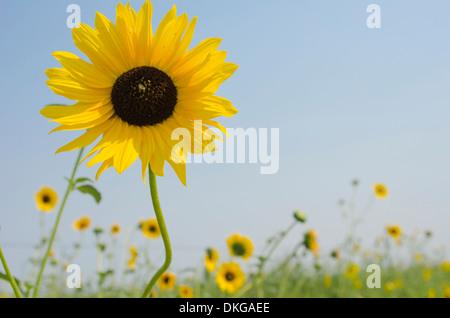 Close up d'un tournesol dans un champ plein d'entre eux. Ces 'Compass' fleurs sont ainsi nommés parce qu'ils suivent Banque D'Images
