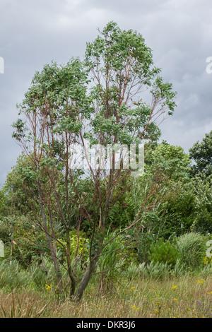 Eucalyptus pauciflora var. niphophila, jeune arbre d'environ 12 ans Banque D'Images