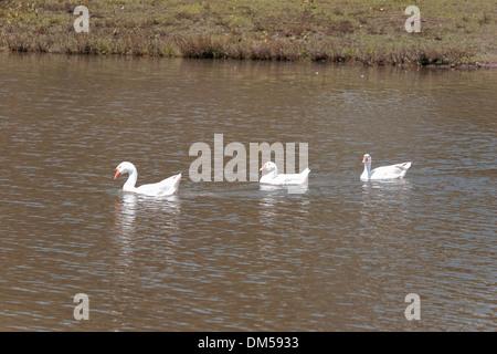 3 canards sur le lac blanc Banque D'Images