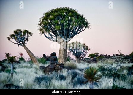 Arbres carquois Kokerboom, Aloe dichotoma, Quiver Tree, forêt, Ferme Gariganus, Keetmannshoop, Namibie, Afrique Banque D'Images