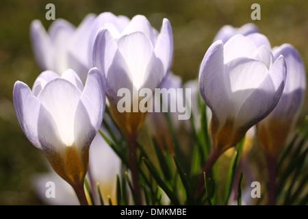 Crocus fleurs sur prairie au printemps Banque D'Images