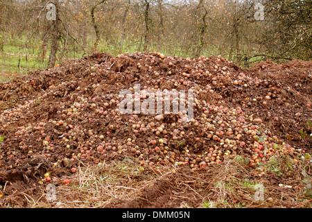 Les pommes pourries, un tas de pommes qui ont chuté sur le terrain d'être recueillies et laissés à pourrir, Novembre Banque D'Images