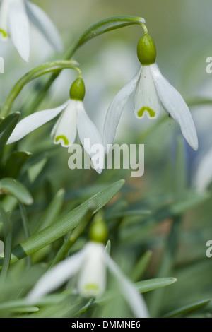 Snowdrop, Galanthus nivalis commun Banque D'Images