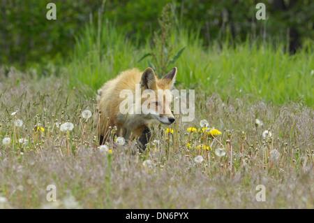 Red Fox (Vulpes fulva) la chasse. Parc National de Grand Teton, Wyoming, États-Unis. Banque D'Images
