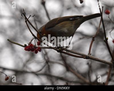 Robin, Erithacus rubecula aux abords de manger les fruits rouges en hiver, UK Banque D'Images