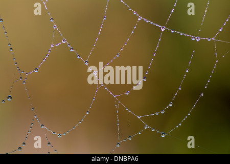 Les gouttelettes d'eau sur une toile d'araignée Banque D'Images