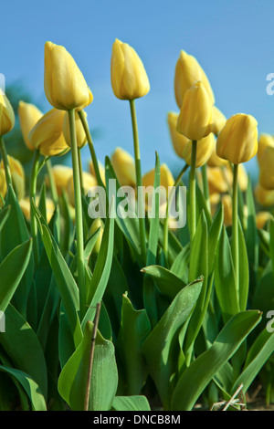 Printemps dans les Pays-Bas: Colorful tulips attraper la lumière du soleil, Noordwijk, Pays-Bas du Sud. Banque D'Images