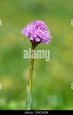 Globe (Traunsteinera globosa) orchidée Banque D'Images