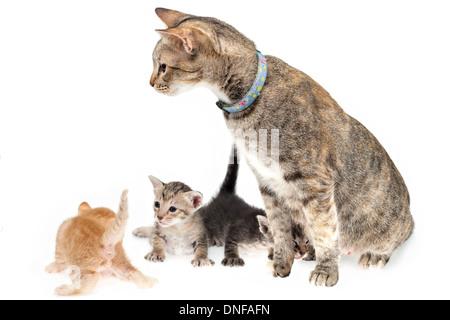 La mère et les chatons chat sur fond blanc Banque D'Images