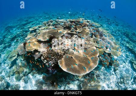 Bien sur table pommelé coraux Acropora sp.) sur le récif peu profond haut. Les Maldives. Banque D'Images