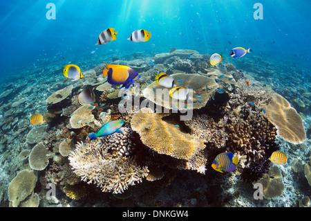 Les récifs coralliens avec une table de coraux (Acropora sp.) et de poissons de récifs tropicaux. Les Maldives. Banque D'Images