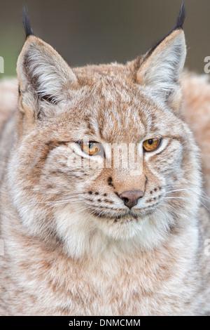 Close-up d'un lynx boréal (Lynx lynx), Parc National de la forêt de Bavière, Allemagne Banque D'Images