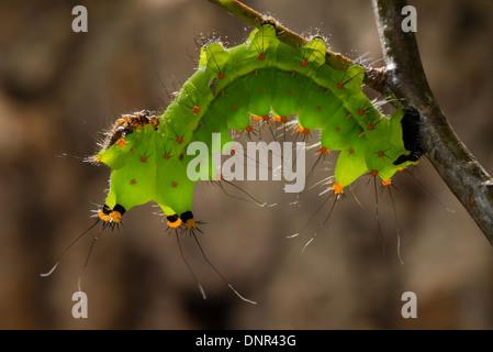 Une larve du papillon lune indiens Banque D'Images