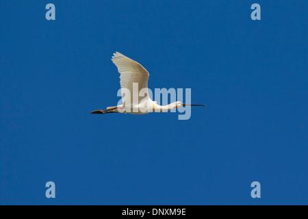 Spatule blanche / Common Spoonbill (Platalea leucorodia) en vol Banque D'Images