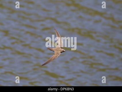 Martinet (Apus melba), adultes en vol au dessus de l'eau, Castilla y Leon, Espagne, Juin Banque D'Images