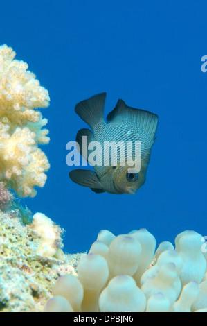 Threespot dascyllus, Domino domino (ou simplement de demoiselle Dascyllus trimaculatus) Red Sea, Egypt, Africa Banque D'Images